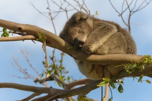 Koala vlakbij de Great Ocean Road